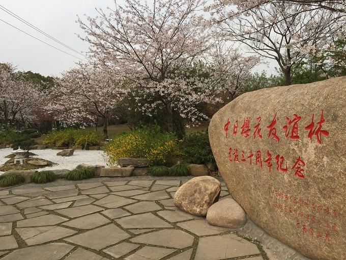 ytzsakura11.jpg